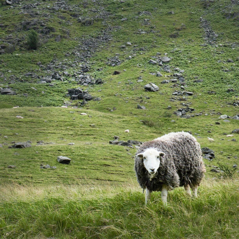 A Herdwick in Borrowdale©HelenBushe