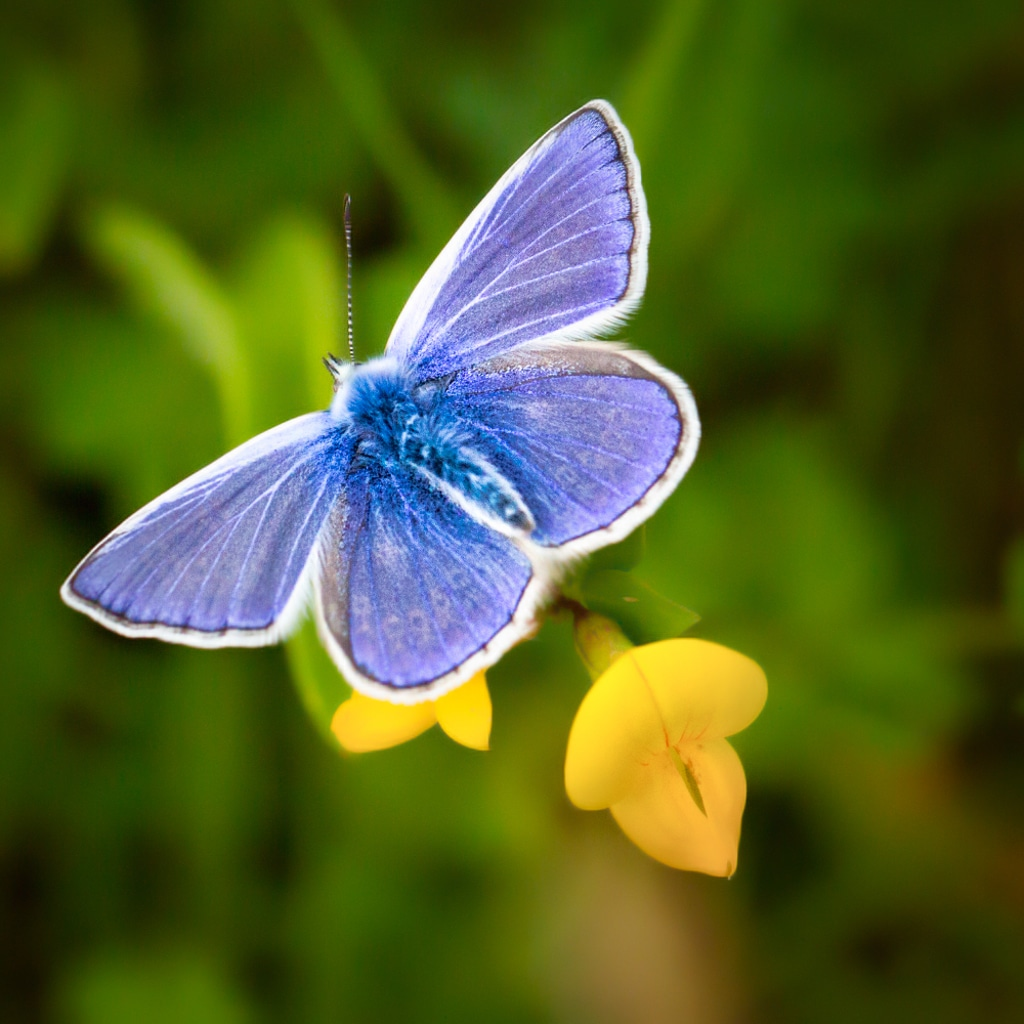 Blue & Yellow:Butterfly ©HelenBushe