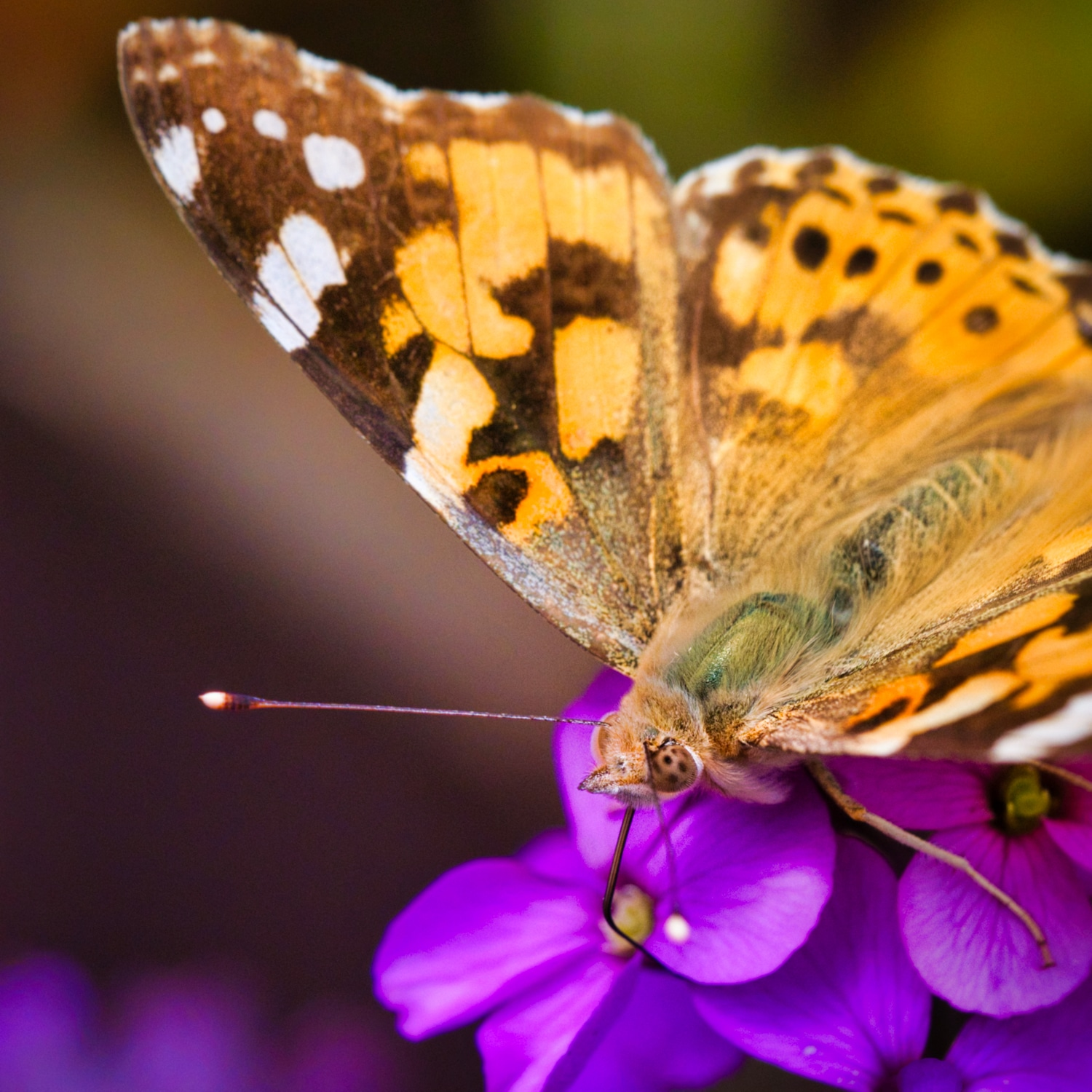 Painted-Lady_2